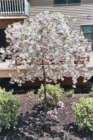 Dwarf ornamental trees crabapple weeping pink for Small specimen trees