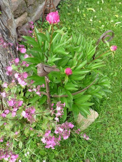pivoine début de floraison