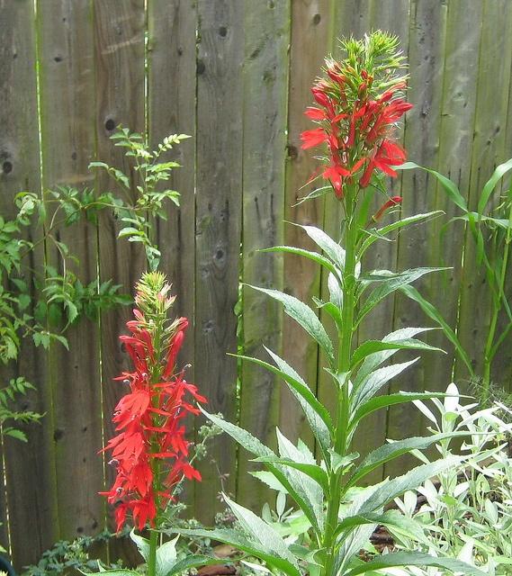 Maryland Native Plants: 10 Best Maryland Native Plants Images On Pinterest