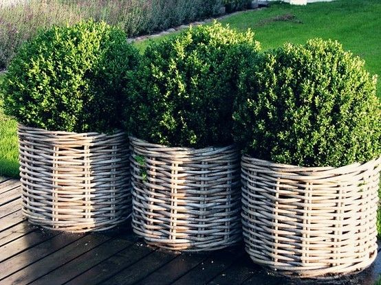 boxwoods in baskets - very pretty