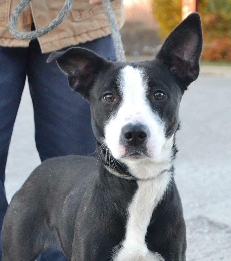 Adopt Mason on Australian cattle dog, Dogs, Dog cat
