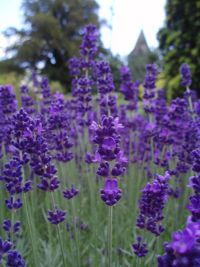How to Grow a Pest Repellent Herb Garden.  Lavender - repels flies, silverfish fleas; add to sachets and hang in the wardrobe.