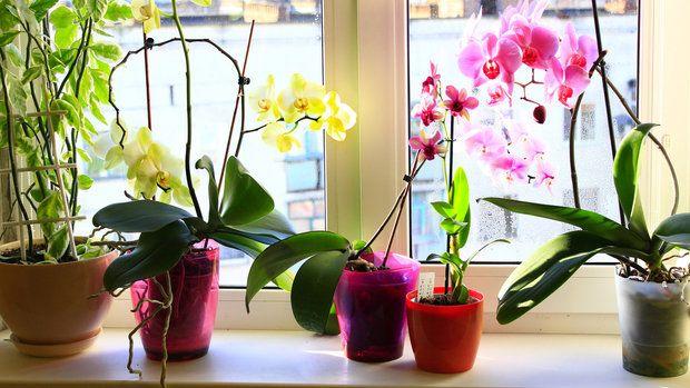 Naučte se orchideje kupovat: zdravé rostliny, které právě nekvetou, pořídíte v zahrádkářstvích zlevněné a ke květu je následně přimějete doma. Stačí k tomu znát několik následujících triků.