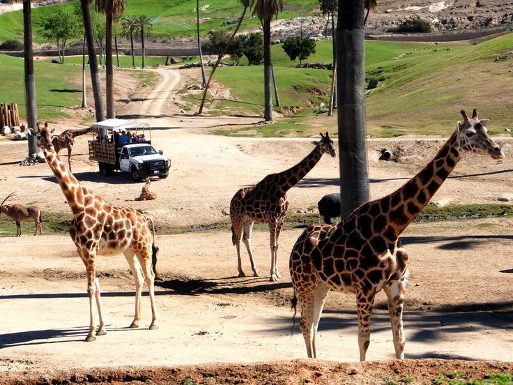 6 San Diego Zoo Safari Park Tips That Will Make Your Visit Even Better http://www.reservesandiego.com/travelguide/six-san-diego-zoo-safari-park-tips-visitors/