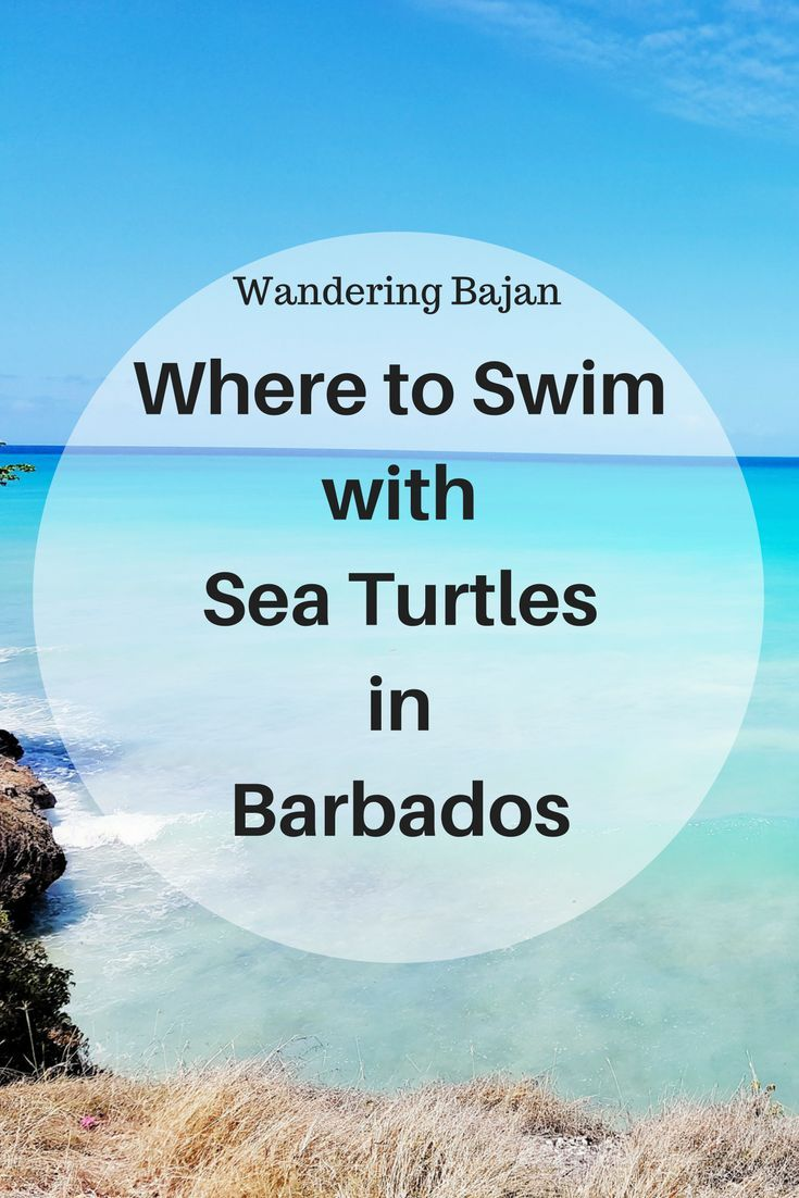 Free activity! Where to find sea turtles in Barbados: