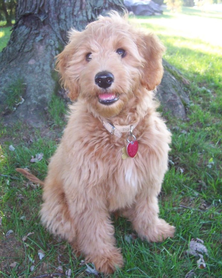 My mini goldendoodle puppy I am getting in July!