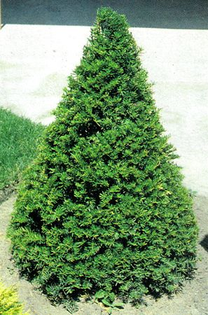 upright yews shrubs-front door in place of arbor vitae?