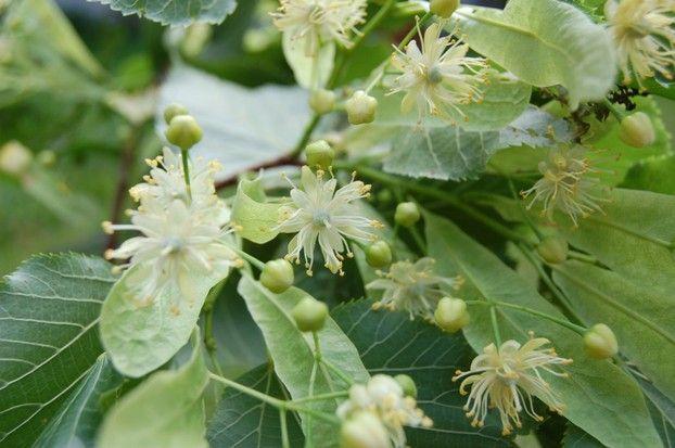 Wunderschöne Lindenblüten