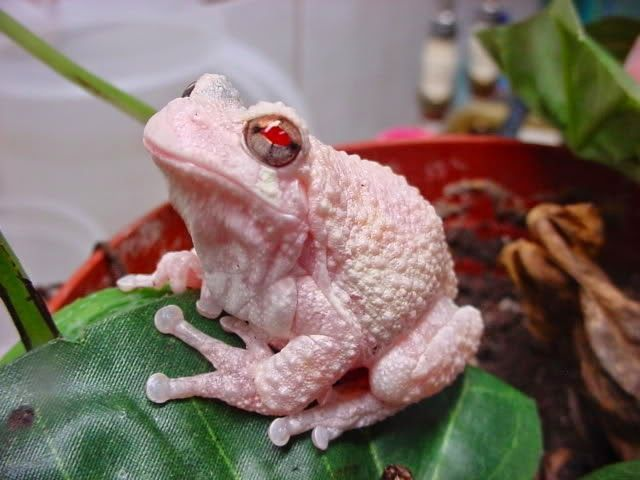 Biology-Life: Gray Tree frog (Hyla versicolor) albino! / Albino gray tree frog…