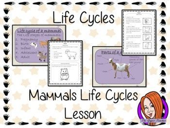 Mammals Life Cycles - Complete Science Lesson This download is a complete lesson on Mammal life cycles. Included: * Full lesson plan * Lesson PowerPoint * Differentiated Worksheets * Example flow chart * Flow chat template * Mammal word bank * Answer