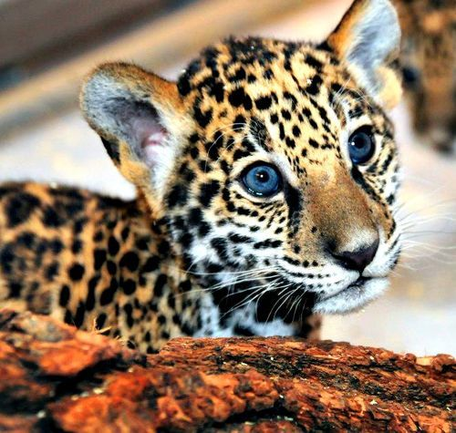 Best 25 Baby Jaguar Ideas On Pinterest Baby Leopard