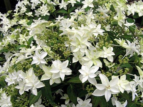 'Shirotae' A dwarf compact shrub with numerous white double sepal flowers.
