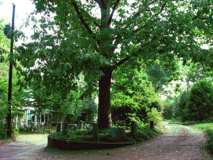 En Estados Unidos se concedió nada menos que a un árbol la propiedad sobre sí mismo y, por tanto, sobre el pedazo de terreno sobre el que se asienta. Sucedió en la ciudad de Athens, condado de Clarke (Georgia).   Se trata del Roble Jackson, pues tiene nombre y todo, y dentro de lo curioso que esto