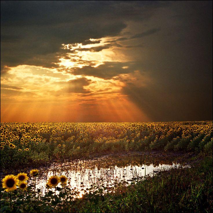 Puesta de sol sobre un campo de girasoles
