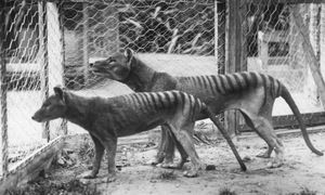 Two Tasmanian tigers before their extinction in the 1930s. Tasmanian tiger sightings: 'I represent 3,000 people who have been told they're nuts' - The Thylacine Awareness Group is 'dedicated to the research, recognition and conservation of our most elusive apex predator' – officially extinct since 1936.