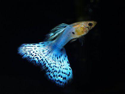Beautiful Blue Guppy
