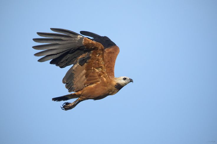 A Black-collared Hawk ( Busarellus nigricollis ) in flight. Photographed in the Peruvian Amazon.