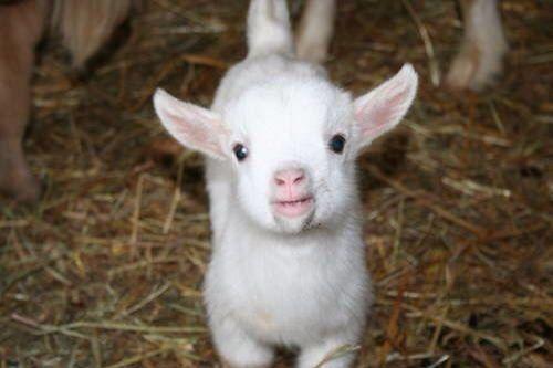 Geitje! Baby goat!