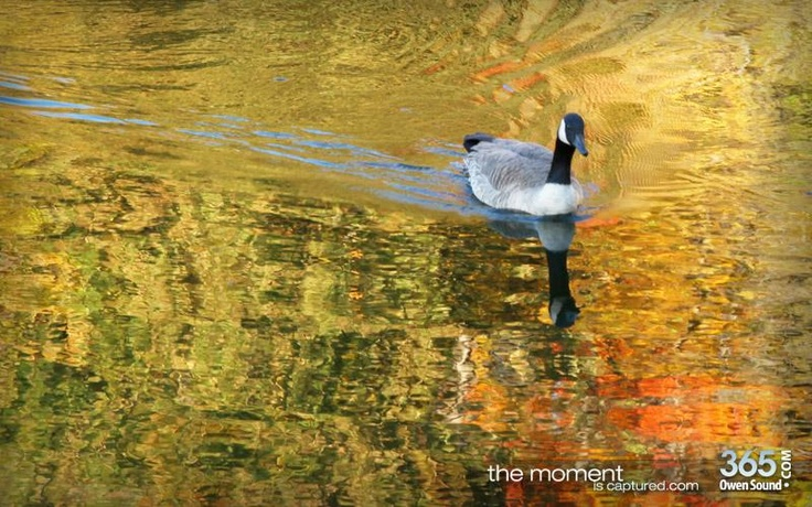 Canada goose at Harrison Park Owen Sound. full gallery here: http://www.365owensound.com/content/walk-through-harrison-park