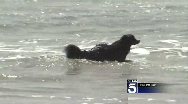 Nico the Bernese mountain dog was rescued from a shelter just a couple months ago. Now he's done some rescuing of his own — pulling two swimmers to safety after they were caught in dangerous rip currents off the Southern California coast.