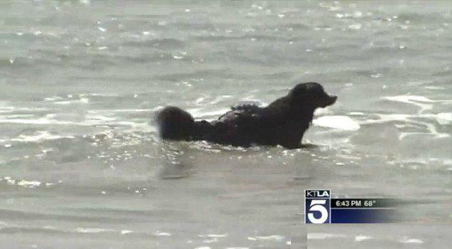 Bernese mountain dog in ocean-KTLAvideo. Hero dog! #animalsareawesome #hero #dog #saveshuman