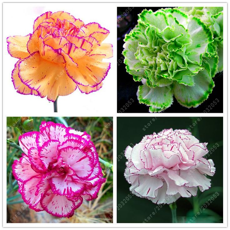 100 pcs/bag Carnation seeds Bonsai Flower seeds Balcony Potted Garden flowers seeds Dianthus Caryophyllus plant easy to grow