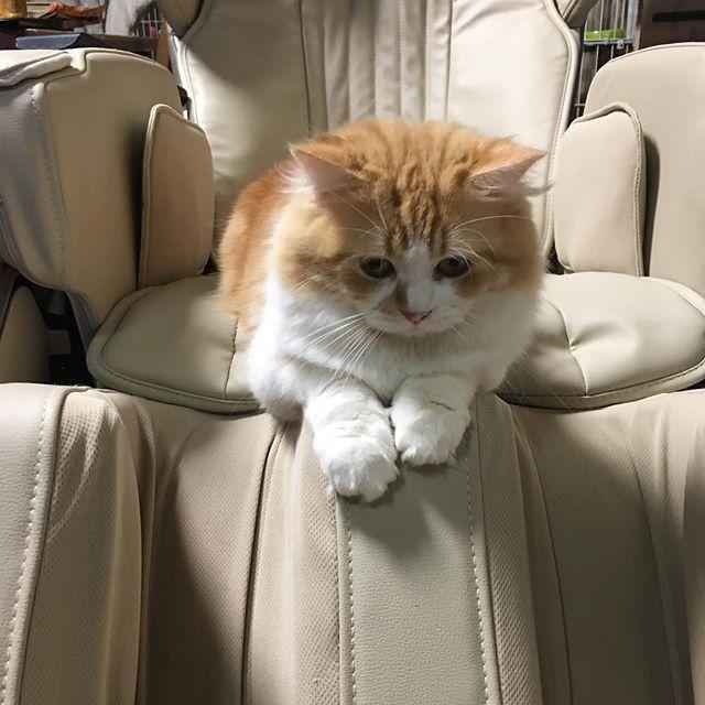 とのも肩こりがひどいようです(๑˃̵ᴗ˂̵)笑  #CAT#CATS#cat#cats#ragamuffincat #ragamuffin #ネコ#猫#ねこ#愛猫#との#殿#肩こり#可愛い#ラガマフィン