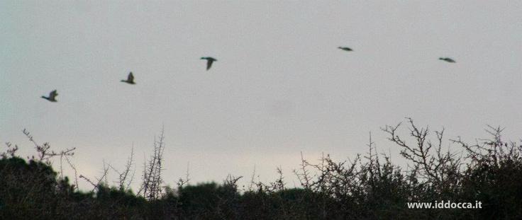 Birdwatching Sardinia - Giara of Gesturi Ducks