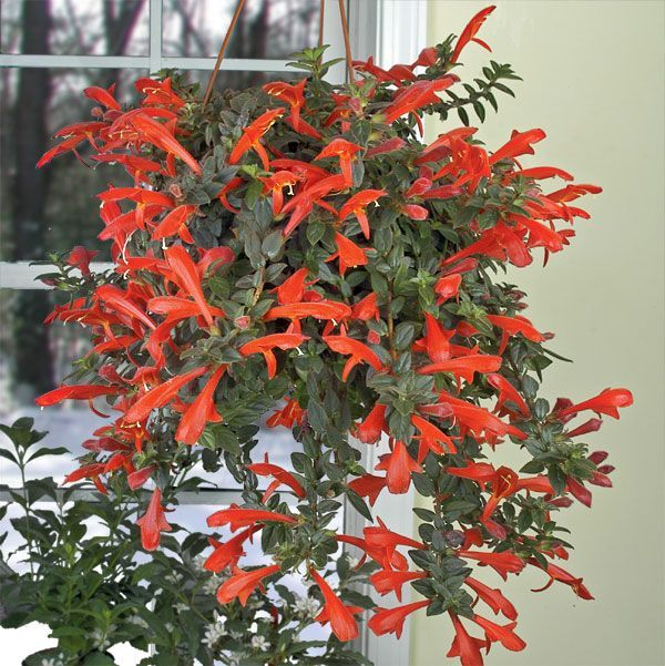 Lipstick plant in full bloom Grow care tips for lipstick plants at https://www.houseplant411.com/houseplant/lipstick-plant-how-to-grow-care