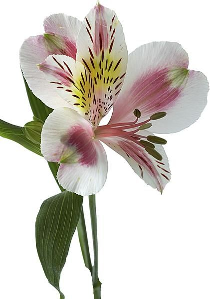 Alstroemeria Propagation | Home Guides | SF Gate