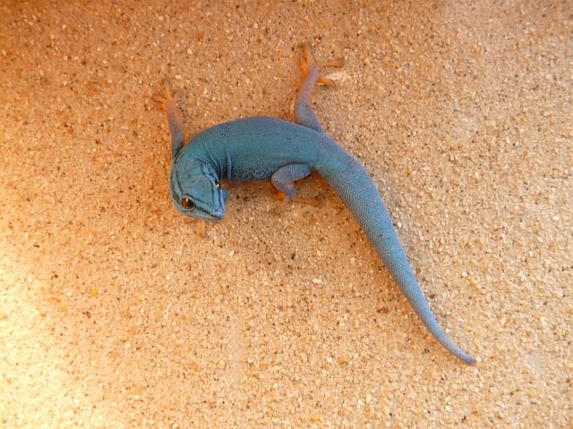 Geckos stay clean even in dusty places