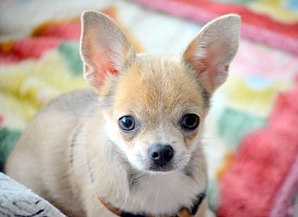 Cute Chihuahua #dog #breeds