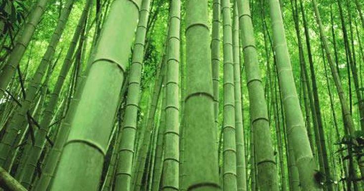 ¿Qué es el  bambú?. El bambú es un tipo de grama que es una de las más grandes del mundo. Son plantas leñosas de rápido crecimiento que tienen un gran significado cultural en el este y el sudeste de Asia. Se usa para diferentes aplicaciones y es la principal fuente de alimento para la decreciente población de osos panda.