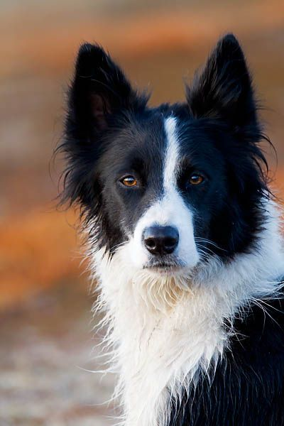 Border Collie....© photograph by Helge Schultz