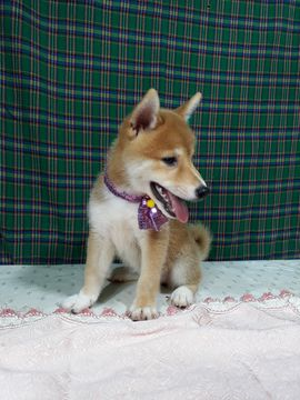 Shiba Inu puppy for sale in LOS ANGELES, CA. ADN-42691 on PuppyFinder.com Gender: Female. Age: 9 Weeks Old
