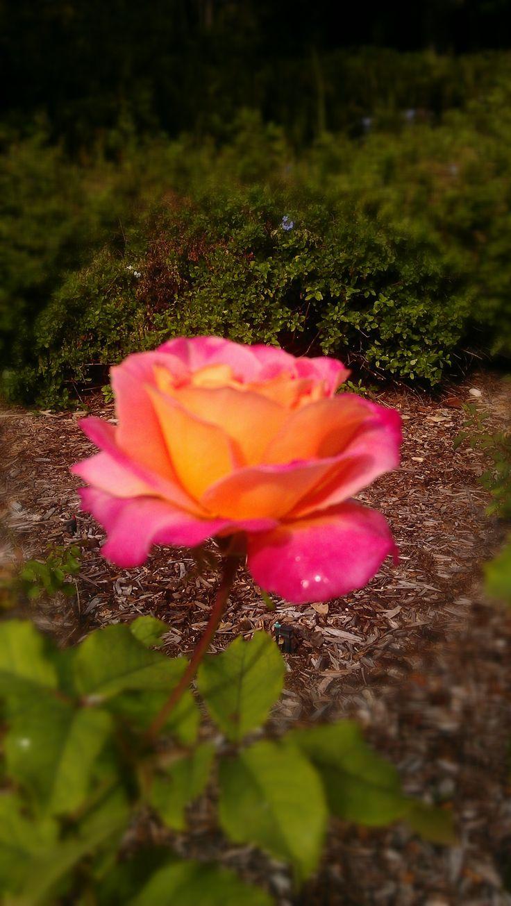 10 best joan durante park rose garden images on pinterest