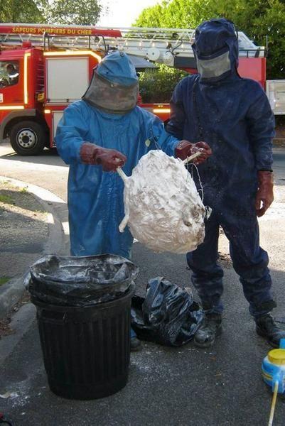 Frelons asiatiques : première destruction - 29/08/2011 - La Nouvelle République Indre
