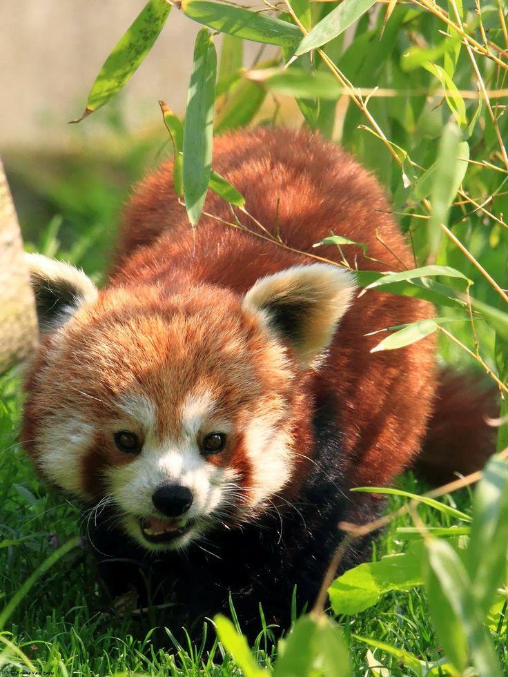 De kleine panda (rode panda) ~ Pandawereld.com