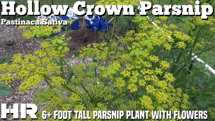 ⟹ HOLLOW CROWN PARSNIP, pastinaca sativa giant parsnip plant an flowers ...