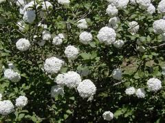 Viburnum × carlcephalum 'Cayuga' - Plant Finder