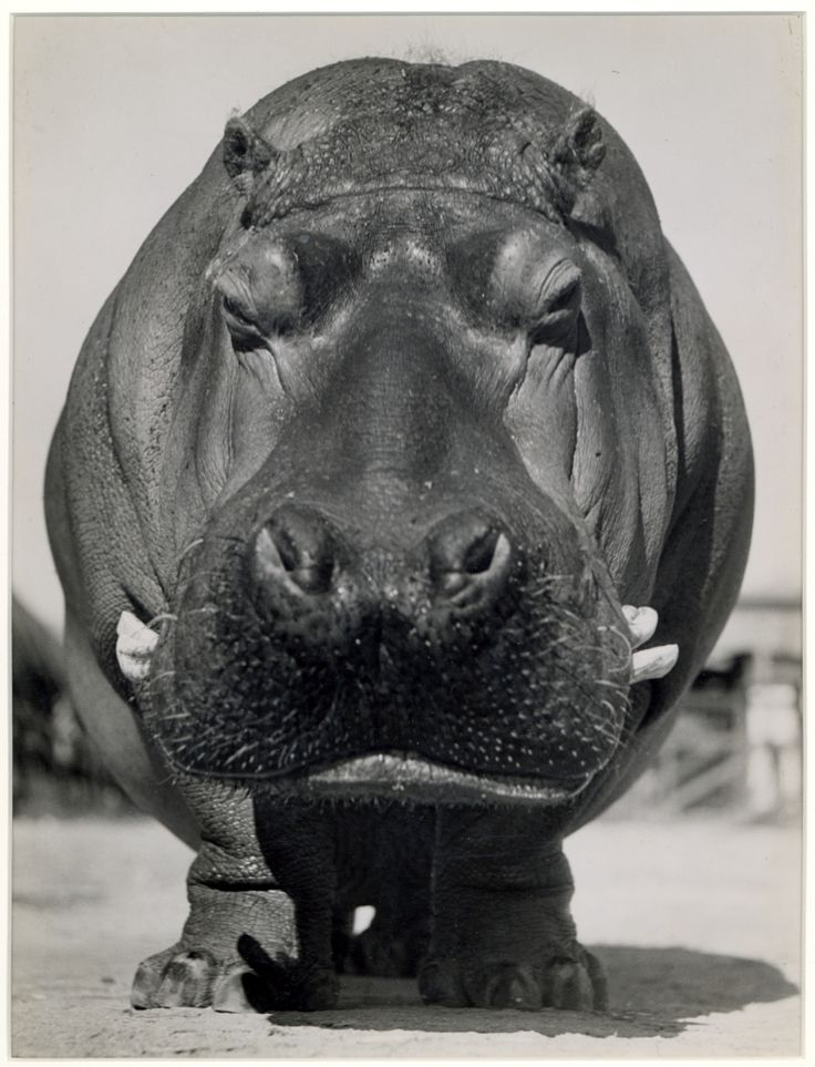 Hippo actually the Rhino is the one who hates the horn on his nose