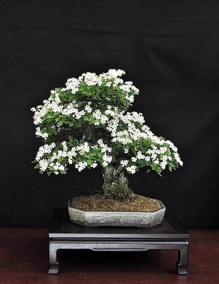 Sheer Beauty  More Flowering Bonsai