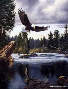 Bald Eagles typically nest in forested areas adjacent to large bodies of water as seen in the Derk Hansen print NATURE'S MEDLEY-EAGLE. Fish is their preferred food source, but not necessarily fish the