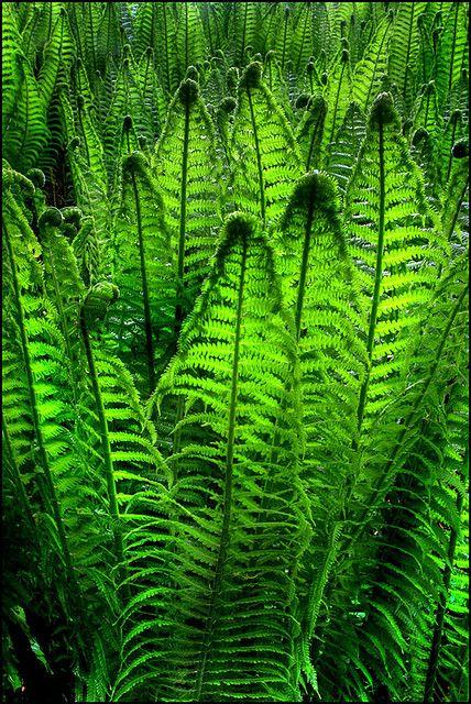 Ferns...by Angus Clyne
