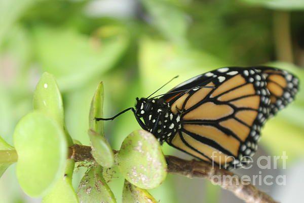 Beautiful! I love Monarchs!