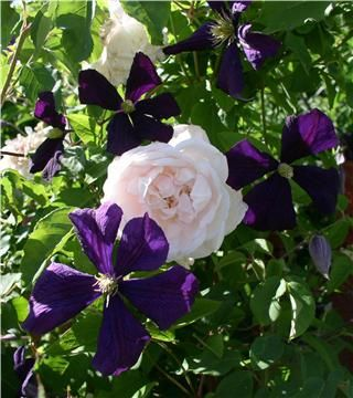 Clematis Etoile Violette and New Dawn