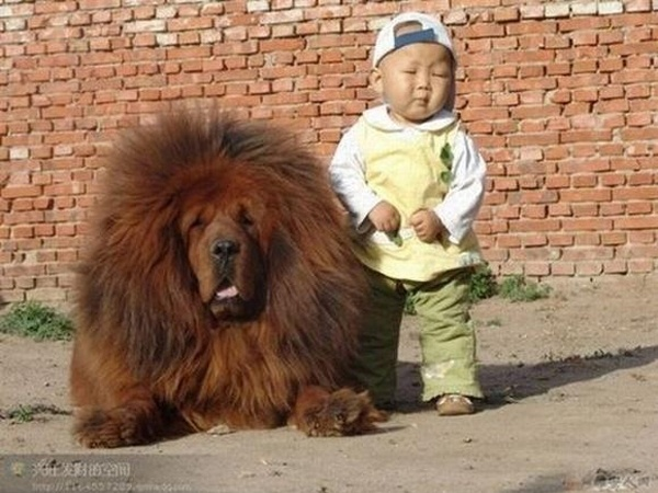 big dogs and little asians, gotta love em': Cute Animal, Huge Dogs, Chow Chow, Big Hair, Tibetan Mastiff, Chowchow, Big Dogs, Little Boys, Kid