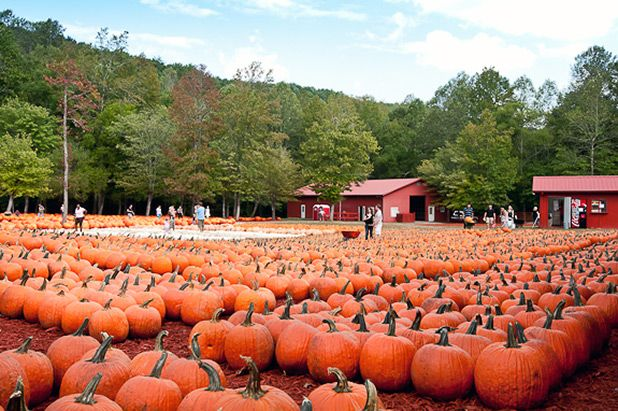 Find The Nearest Pumpkin Patch In Your Area! Go right to the nearest farm and pick a fresh right off the vine! Great article!