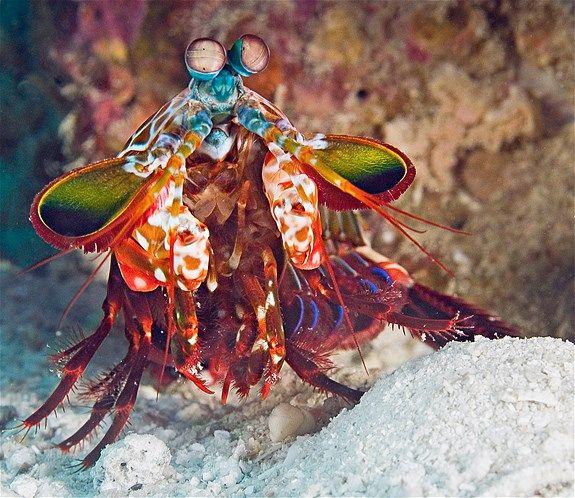 De bidsprinkhaankreeft Afbeelding: De vreemdste diersoorten (© Michael Gerber/Getty Images)