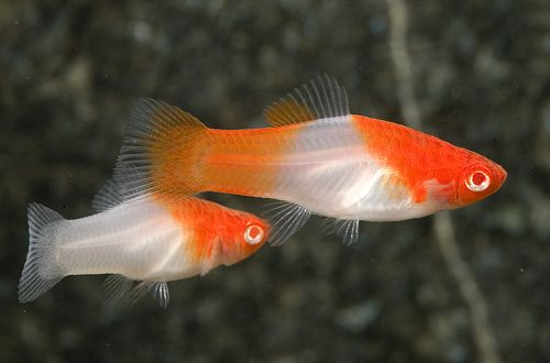 1000 images about peces de acuarios acuarium fish on for Koi goldfish care